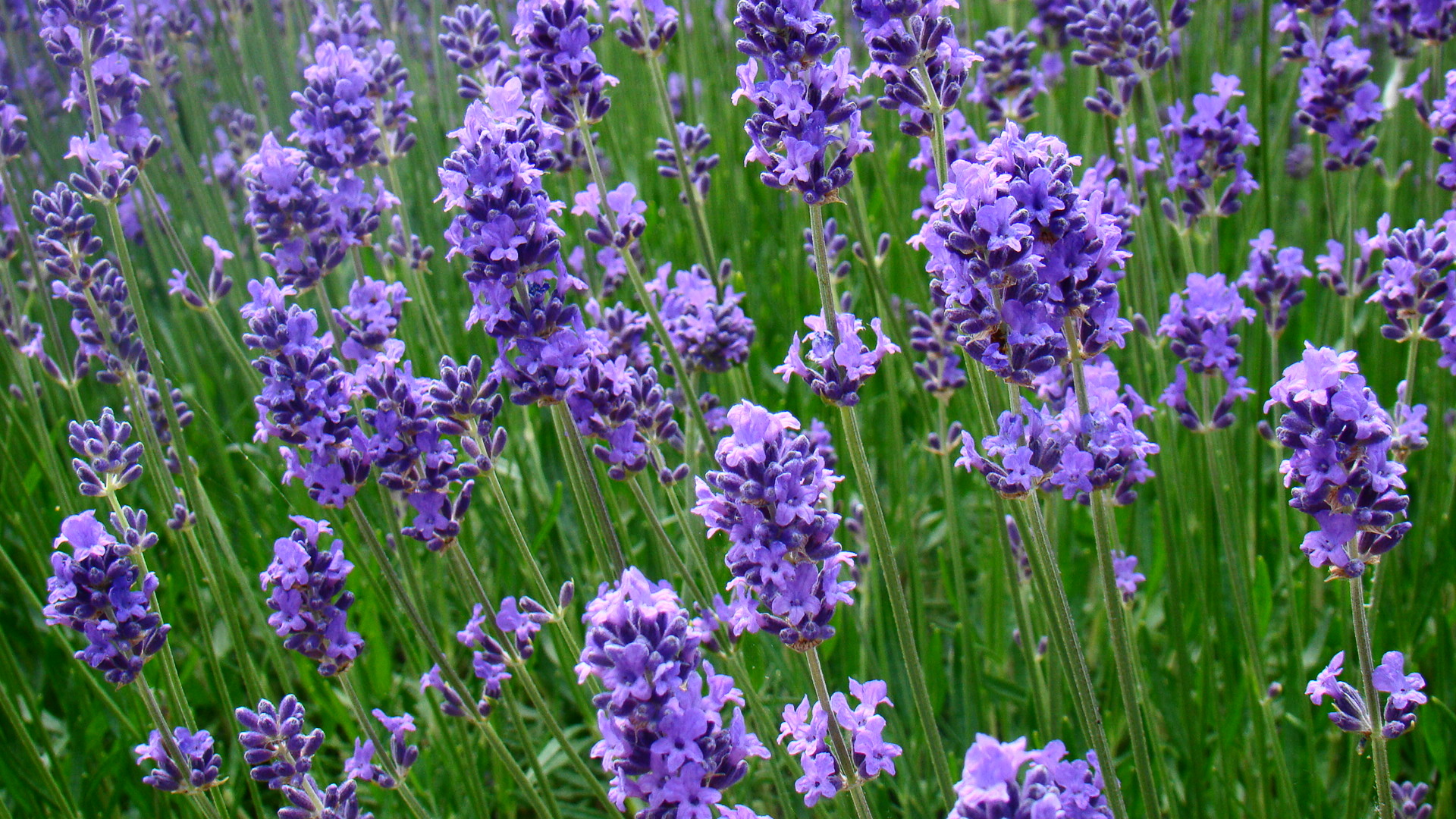 natural-lavender
