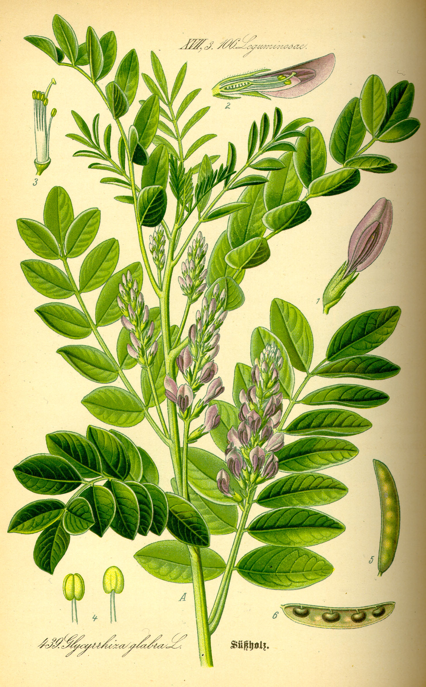licorice-root-for-anxiety-plant